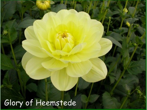 GLORY OF HEEMSTEDE