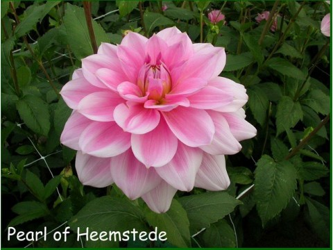 PEARL OF HEEMSTEDE